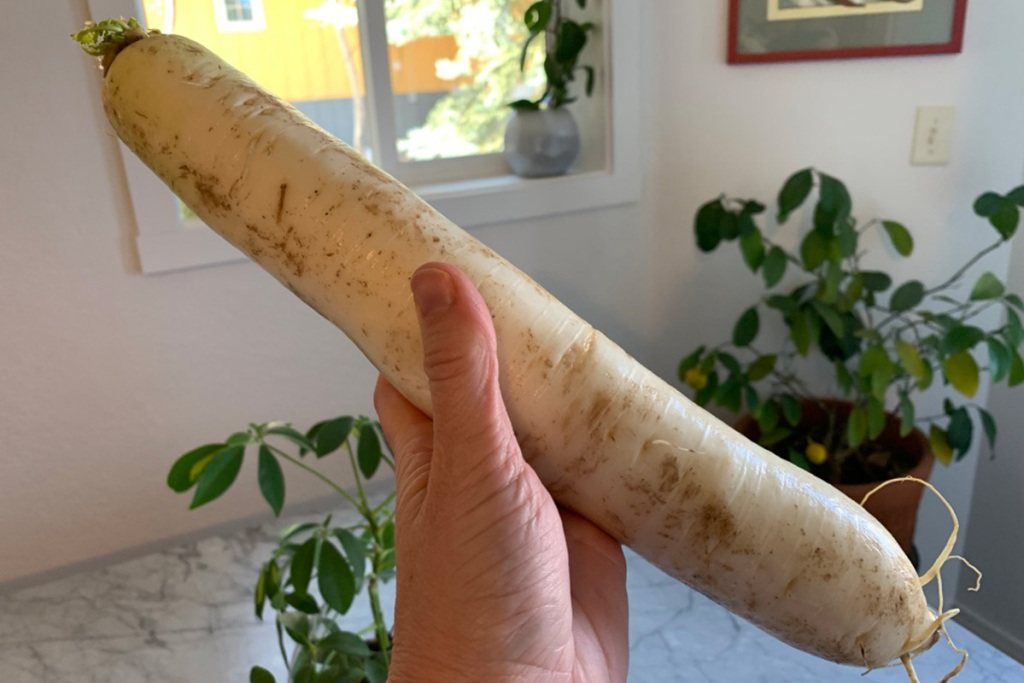 a hand holding a raw daikon radish