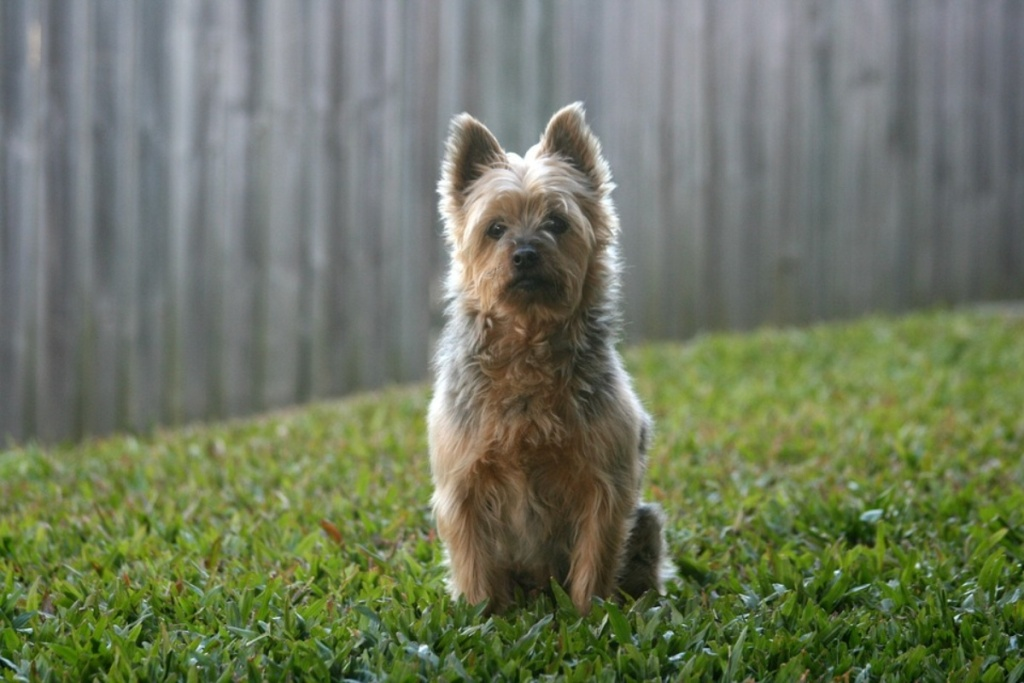 Australian Terrier in a fenced-in yard