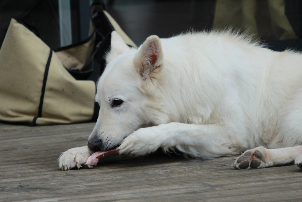 white dog eating meat